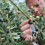 1-Jason_inspecting_Olives_small